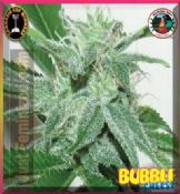 Big Buddha bubble cheese marijuana seeds feminized